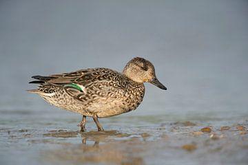 Teal ( Anas crecca ), female duck, breeding dress, leaving the water, walking, full body side view van