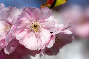 Kirschbaum Makro zarte Blüten im Frühling von Dieter Walther