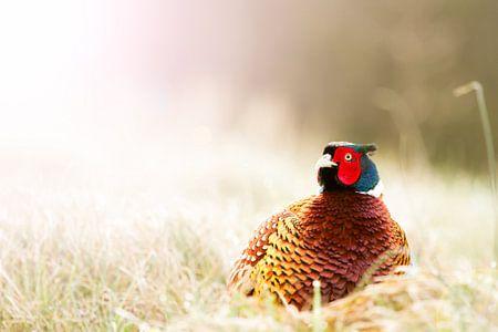 pheasant in the sun