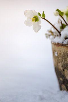 Helleborus in de sneeuw van Mayra Pama-Luiten