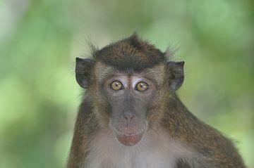 Affe von Koen Venneman