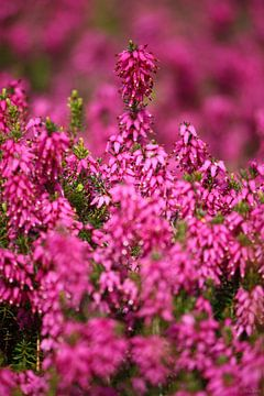 springtime! ... pink, pinker, pinkest II van Meleah Fotografie