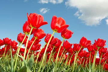 Tulpen rot von Henriette Tischler van Sleen