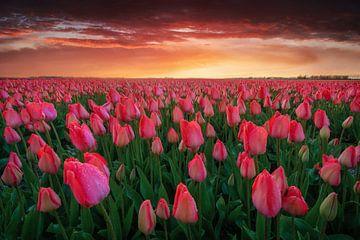 Het tulpenveld van Martin Podt
