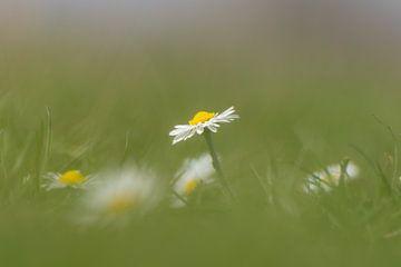 Gänseblümchen von Femke Straten