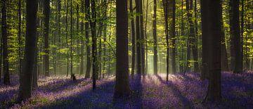 Bluebell forest Panorama sur Edwin Mooijaart
