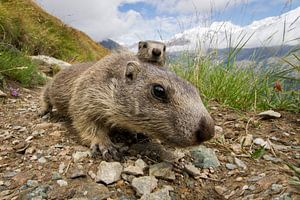 Een nieuwsgierig jong marmotje in de bergen van