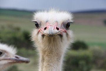 Struisvogel van Christel Smits