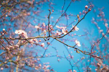 Close up van prachtig roze bloeiende bloesem tegen een blauwe hemel sur Natascha Teubl