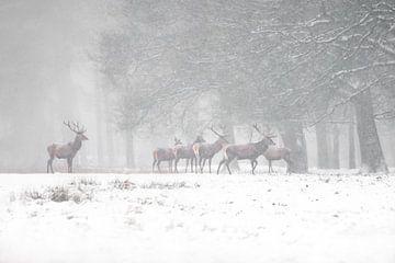 Rotwild im Schnee. von Albert Beukhof