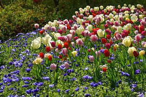 Tuin met tulpen