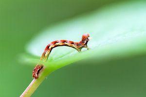 Rupsje op een groen blad in de lente van