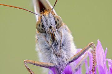 Close-up of a butterfly... Dark Green Fritillary *Argynnis aglaja* van