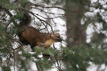 Boommarters / sparrenmarters ( Martes americana ) jagen op naaldbomen, wilde dieren, Yellowstone NP, van wunderbare Erde