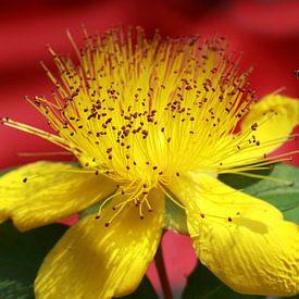 Hypericum beanii bloem met een zweefvlieg van Jolanta Mayerberg