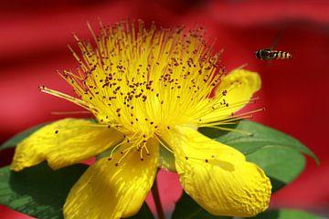 Hypericum beanii Blume mit einem Schwebfliege von Jolanta Mayerberg