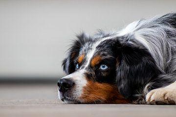 Australische herder of Australian shepherd  is een prachtige hond. van Henk Van Nunen
