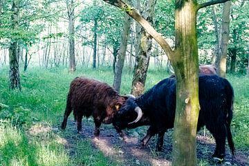 Hooglanders stierenvechten van Truckpowerr