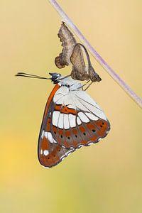 Net uitgeslopen Blauwe ijsvogelvlinder (Limenitis reducta) rust uit op chrysalis van