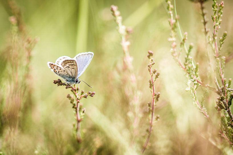 Heideblauwtje van Maja Ooms