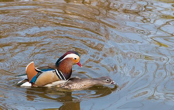 Mating Mandarin Ducks