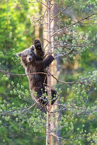 waving bear cub van