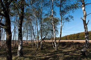 Berkenbomen bij Planken Wambuis op de Veluwe van