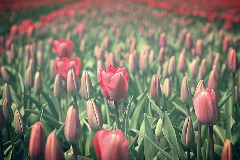 Tulpen van Remy De Milde