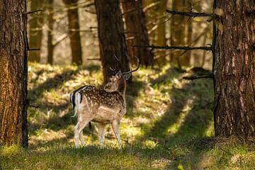 Hirsche in der Natur von Brian Morgan