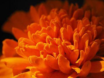 Afrikaantje bloem van Wendy Drent
