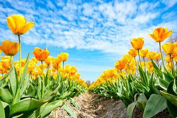 Gele tulpen bloeien in een veld in de lente van Sjoerd van der Wal