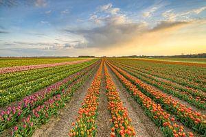 Tulpenveld in het Rijndistrict van Neuss