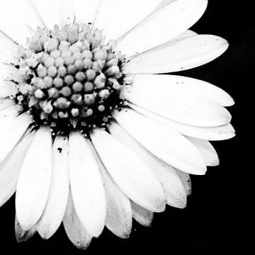 Blume schwarz und weiß links geschnitten von Arendina Methorst