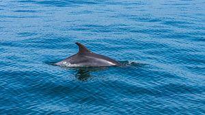 Delfin in der Bucht von Setúbal in Portugal von Jessica Lokker
