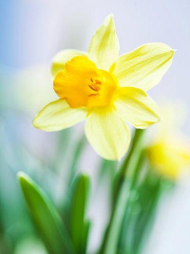 Narcis von Niels van der Perk