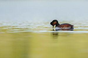 black necked grebe