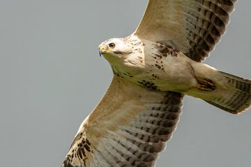 Close-up van roofvogel (Buizerd) van Caroline Pleysier