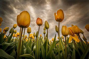 Tulpen - Geel von Edwin van Wijk