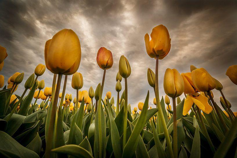 Tulpen - Geel van Edwin van Wijk