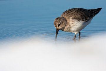 Bonte strandloper foerageert in het water van