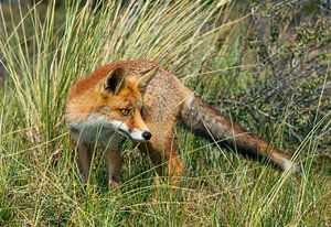 Fox in the gras