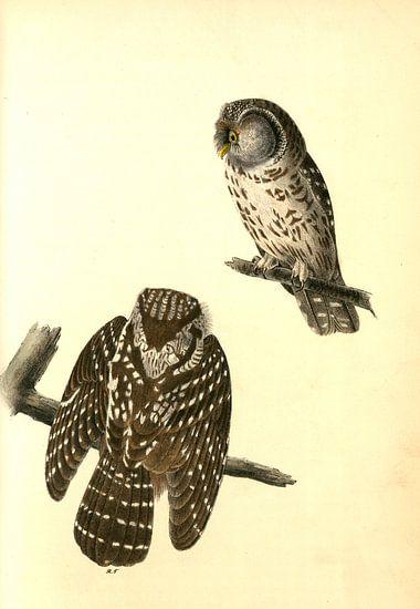 Uil, Tengmalm's Night-Owl., Audubon, John James, 1785-1851