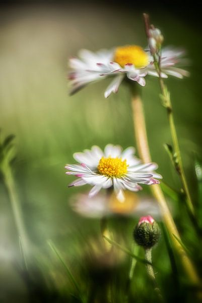 Gänseblümchen im Rasen von Nicc Koch