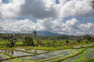Munduk, Bali. Aan alle kanten omgeven door dichte junglevegetatie zijn felgroene terrassen om rijst