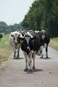 Koeien op pad van Annemarie Kroon