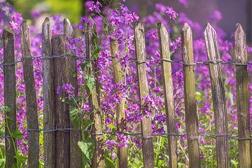 Violette Blumen an einem Holzzaun von Miranda Heemskerk