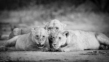 Löwin mit Junge in Schwarz & Weiß von YvePhotography