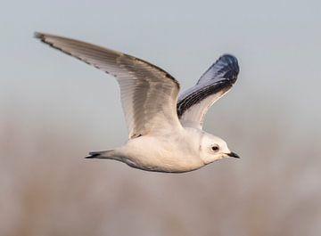 Vliegende jonge Ross' meeuw von Marcel Klootwijk