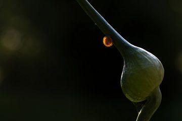 Kleine junge Gehäuseschnecke leuchtet auf einer Lauchknospe vor dunklem Hintergrund, gesehen im Gemü von Maren Winter