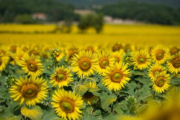Zonnebloemen in Toscane